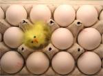 Chicks_in_Eggs_by_peta2