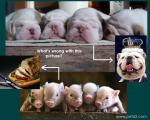 Pet_and_Pork_by_peta2