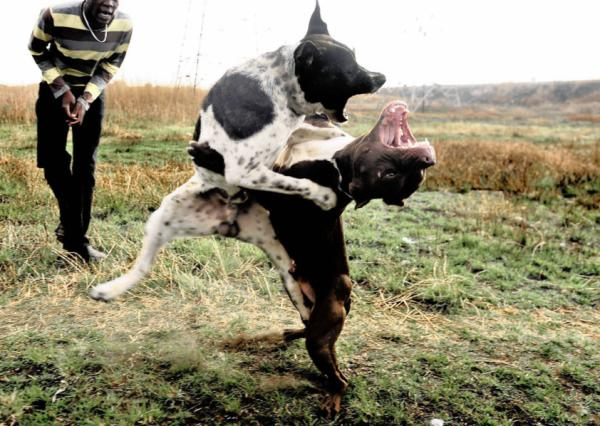 Pitbull fights 'not for animal lovers' | Our Compass - photo#15