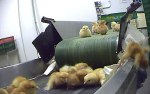 Bleak existence: Once hatched the chicks are placed onto a conveyor belt system to be sexed and sorted