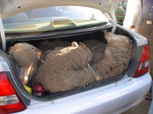 3 Australian sheep in boot in Kuwait for home sacrifice - Eid Nov 2010