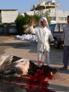 Bull following brutal street slaughter in Kuwait - Eid Nov 2010