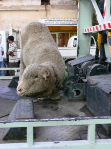 Chained to winch of tow truck for home sacrifice in Kuwait - Eid Nov 2010