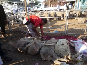 Trussed, terrified Australian sheep in Kuwaiti slaughter line - Eid Nov 2010