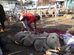 Trussed, terrified Australian sheep in Kuwaiti slaughter line - Eid Nov 2010