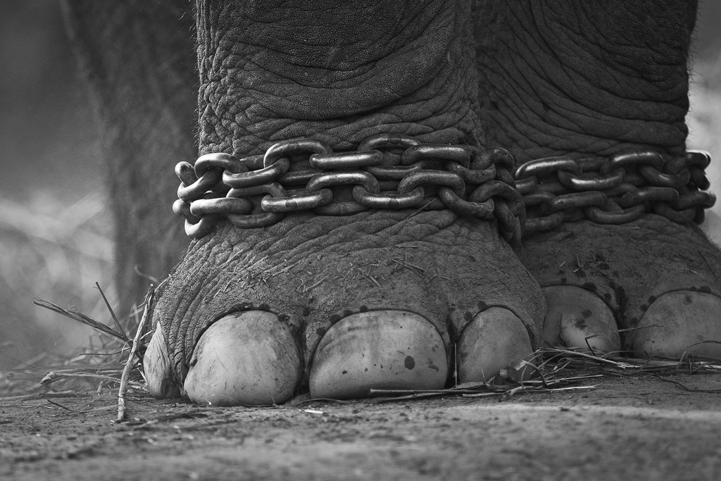 Image result for Elephant feet in chains