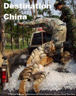 tiger poaching essay