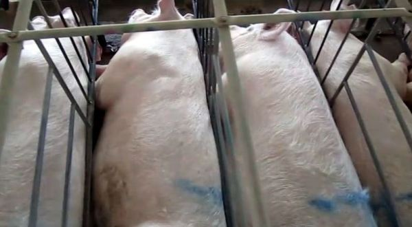 Gestation Crates Wikimedia Commons