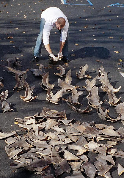 Wikimedia Commons: NOAA agent counting confiscated shark fins.