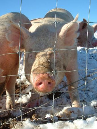 """Wikimedia Commons, Penn State's """"research"""" pigs"""