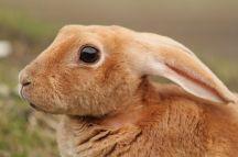 800px-Rabbit,_Staunton