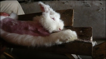 angora3