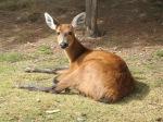 Marsh_deer