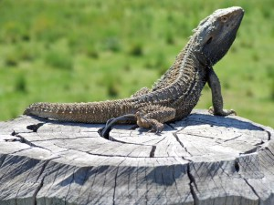 lizard_on_post
