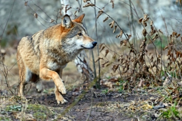 Care2: The wolves could soon enjoy a natural habitat and live in packs.