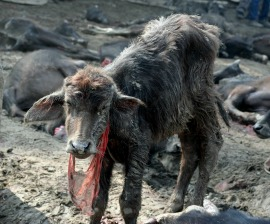 Manoj Gautam/Animal Welfare Network Nepal