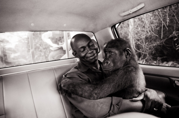 Rescued from the bush-meat trade. Appolinaire Mdohoudou and Pikin, Ape Action Africa, Cameroon, 2009