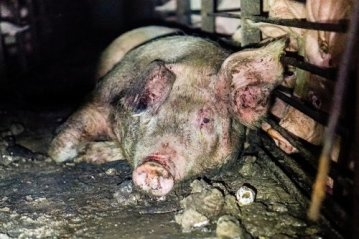 A mother pig at a Smithfield pig farm languishes in her own waste.
