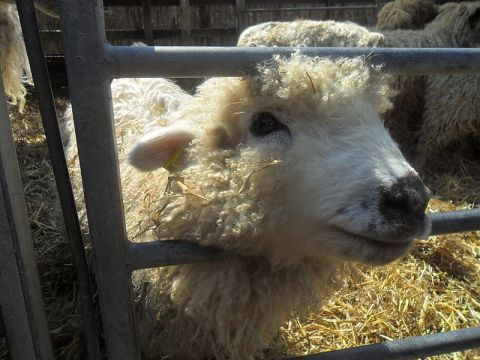 Rare_breed_sheep_(9580287815)