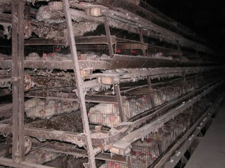 Animal_Abuse_Battery_Cage_02