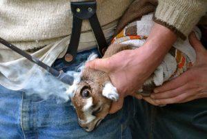 baby-goat-disbudding-768x518