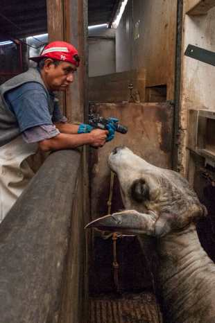slaughter_house-oaxaca-mexico-stun_gun-red_hat-blue_gloves-man-cow-invisible_man_photography-david_m_m_taffet